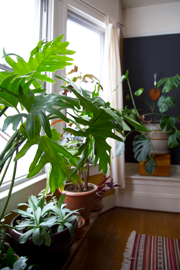 plantopedia-philodendron-bipinnatifidum-dabito